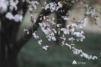 西平洪河公园的紫叶李花,时间把我送到这花前  我趁机蹉...